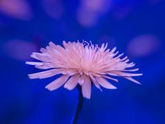 Hope Springs Eternal DSC_1136 (Katrina Wright) Tags: hope dandelion bokeh orlando