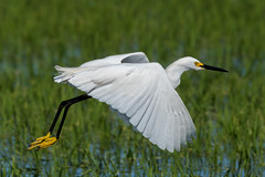 Snowy Egret Takes A Flying Leap (MelRoseJ) Tags: california nature birds unitedstates sony alpha davis egret autofocus yolobypass sonyalpha sal70400g a77ii sonyilca77m2