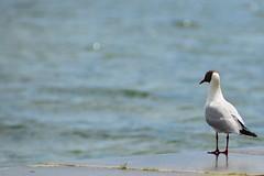 Starnberg - Contemplative Gull (cnmark) Tags: lake bird germany see wasser seagull gull starnberger starnberg mwe vogel allrightsreserved