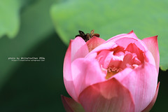 Lotus&Butterfly (Whitefox Chen) Tags: canon canon70300mm 6d summer lotus flower butterfly taiwan taipei