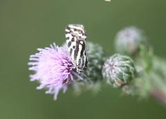 Spotted Sulphur moth (Emmelia trabealis) (iainrmacaulay) Tags: moth france spotted sulphur emmelia trabealis