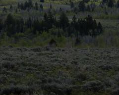 GTY_0159 (Kerri M.) Tags: wyoming grandtetonnationalpark coyote wildlife nature camouflage nationalparks