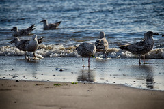 meeuwen (Remke Luitjes) Tags: water vogels zee meeuwen zand