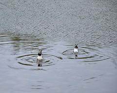 GTY_0491 (Kerri M.) Tags: wyoming grandtetonnationalpark schwabacherlanding grantteton tetonrange nationalparks landscape tetons ducks wildlife nature