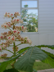 flowered chestnut-3 (algimantas_tirlikas) Tags: autumn chimney building spring may flowersplants