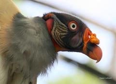 05-IMG_2154 (hemingwayfoto) Tags: berlin geier greifvogel knigsgeier lebewesen neuweltgeier sacroramphuspapa tier vogel zoo