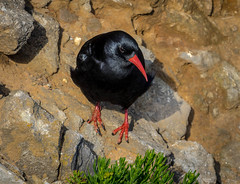 Chough (hemlockwood1) Tags: pembrokeshire chough stack rocks black red coast park olympus national wales