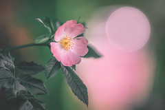 rory (Das StadtKind) Tags: new pink flores flower nature fleur germany bavaria europe flickr dof bokeh sony pflanze rosa depthoffield petal f2 blume blte a7 naturephotography kempten 1352 stadtkind bokehlicious sonya7 sonyilce7 samyang1352 walimexpro1352