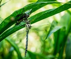 Dragonfly just emerged (Richard Brown 56) Tags: dragonfly olympus omd em5