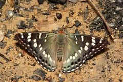 Oberthur's Admiral (Chalinga elwesi, Nymphalidae) (John Horstman (itchydogimages, SINOBUG)) Tags: china macro topf25 butterfly insect lepidoptera yunnan admiral nymphalidae itchydogimages sinobug