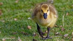 Canada Goose Gosling Walking (Aria (RJWarren)) Tags: bird nature canon midwest wildlife young iowa goose gosling immature juvenile canadagoose brantacanadensis avian t3i ankeny tamron150600mm