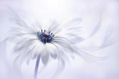 Cape Daisy (Jacky Parker Floral Art) Tags: uk white flower closeup outdoors nikon nopeople freshness selectivefocus naturephotography macrophotography floralart fragility beautyinnature horizontalformat capedaisy flowerphotography floralfriday osteospermumbarberiae summer2016 floatypetals