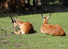 5-IMG_2177 (hemingwayfoto) Tags: berlin horntrger kafuelitschimoorantilope kobuslechekafuensis natur paarhufer sugetier zoo