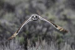 Short Eared Owl Flying (lgambon) Tags: bird barn wildlife raptor owl hunter predator