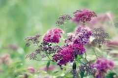 Beauté pourpre (mamietherese1) Tags: ngc npc earthmarvels50earthfaves world100f phvalue universeofphotography wow
