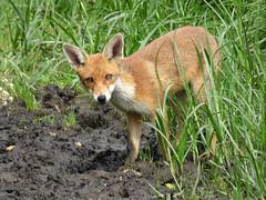 Fox (Peanut1371) Tags: red mammal tail fox urbanfoxes nationalgeographicwildlife