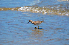 Willet, Texas, Kleberg County, Padre Island National Seashore (EC Leatherberry) Tags: gulfofmexico texas wildlife nationalparkservice shorebird willet padreislandnationalseashore tringasemipalmata klebergcounty