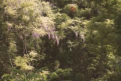 20160618-19_tm-1 (takako.midorikawa) Tags: flower wisteria