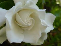 Γαρδένια!   P1000325 (amalia_mar) Tags: gardenia γαρδένια λουλούδι λευκό