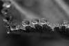 Droplet Fringe (Broot - Thanks for 3/4 million views!!) Tags: blackandwhite bw macro nature monochrome rain june leaf spring fringe drop dew edge droplet raindrop ladysmantle