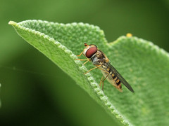 Episyrphus balteatus (Tim Worfolk) Tags: topsham episyrphusbalteatus marmaladehoverfly syrphidae