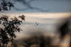 Bird in flight (michaelraleigh) Tags: canon outdoors bokeh blurred serene secluded infocus 200mm highquality albertlea f28l myrebigisland