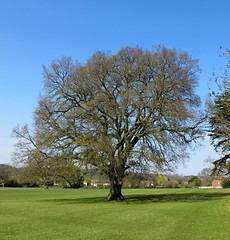 4989 Stoke Lodge Lucombe Oak T1 - Quercus x hispanicus