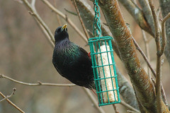 Starling2 (catman1515) Tags: starling scottishwildlife