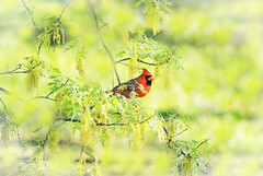 Cardinal in early spring (forgetmenot777) Tags: red tree male green spring soft pretty cardinal