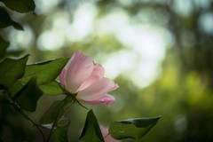 a wild rose (Yuga Kurita) Tags: pink light flower cute green rose japan pretty bokeh wildrose