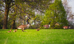 Geese Perspective (Zagros.os) Tags: green nature birds canon geese duck little perspective goose 200mm 1000d