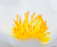 Filaments (David Martn Lpez) Tags: white flower macro blanco yellow flor amarillo filaments filamentos