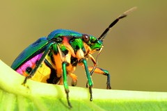 / Green Jewel Bug (pallab seth) Tags: india macro insect bengal jharkhand scutelleridae lampromicra chrysocorisstolli lycheeshieldbug tamronaf90mmf28dispam11macrolens greenjewelbug