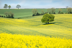 Canola field, Meon Valley, Hampshire (Elm Studio) Tags: uk trees england sky copyright clouds landscape spring afternoon naturallight hampshire crop bushes meonvalley canola potw copyrighted oilseedrape oldwinchesterhill jeffmorgan nothdr warnford elmstudio triggertrap jeffelmstudiocom wwwelmstudiocom