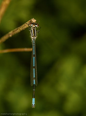 Azure Damselfly (Coenagrion puella) - male (markhortonphotography) Tags: macro canon insect canal surrey 100mm coco 7d f28 ringflash deepcut surreyheath basingstokecanal azuredamselfly coenagrionpuella eos7d