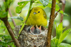 Yellow Warbler and chicks (Laura Erickson) Tags: ohio yellowwarbler dendroicapetechia mageemarsh