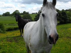 Black and White Horses in a field on a walk to Croxden ruins (close up) (Matt Burke) Tags: horses playing green field grass meadow running flowing alton blades