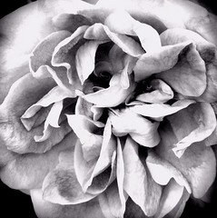Black and White Beauties ~ Roses (Marianne Dow) Tags: cameraphone flowers roses blackandwhite bw abstract flower art nature rose digital garden phone dramatic motorola mirrored impressionist android droid phoneography iphoneography androidography droidx andrography mariannedow