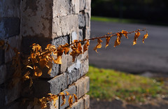 Dead Plant on an Old Brick Wall (Joel Bramley) Tags: brown plant field leaves dead dof olympus omd em5