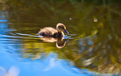 Fluffy and perfect! (maln) Tags: baby iceland duck flatey breiafjrur andarungi