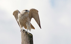 Gyr Falcon - local falconer's bird or not, magnificent!