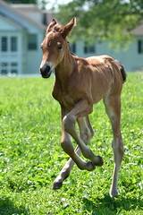 first frolic (Brooklyn Phillips) Tags: baby running colt foal galloping