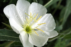 Photo - White Evening Primrose