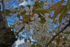 Prunus sargentii - BG Utrecht-001 (Ruud de Block) Tags: utrecht tuin rosaceae botanische prunussargentii utrechtbotanicalgarden