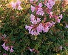 "Abelia Edward Goucher • <a style=""font-size:0.8em;"" href=""http://www.flickr.com/photos/101656099@N05/9733561119/"" target=""_blank"">View on Flickr</a>"