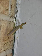 Praying mantis (lika2009 (in the U.S.A.)) Tags: autumn usa fall nj september