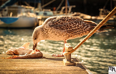 Peckish (MathewKendallPhotography) Tags: wood sea england food fish bird water birds port canon boats coast boat seaside wings cornwall harbour britain eating seagull gull beak rope deck eat meal british peck newlyn pecking canon6d