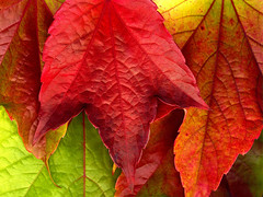 Autumn_Leaves_XXXL____by_MichiLauke (keuka694) Tags: rot wallpapers herbstblaetter