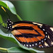 Tiger-striped Longwing