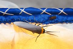 Tiger Moth & Friend (lacey underall) Tags: insect island moth bluemountains lepidoptera jamaica caribbean cloudforest arthropod holywell cisseps bluemountainsnationalpark erebidae arctiini hardwargap